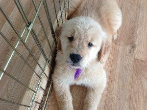 Girl Golden Retriever Puppy