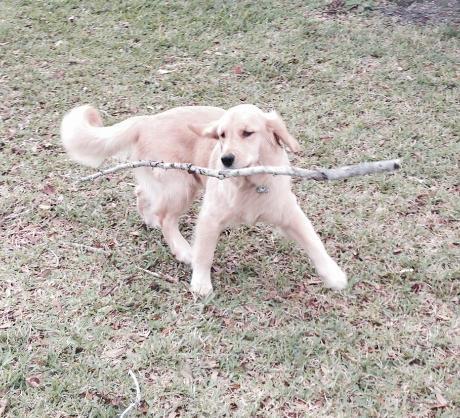 Golden Puppy Mackenzie with a Stick